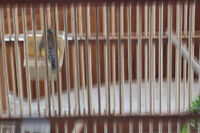canaries and bird cages