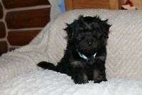Registered Havanese - Ready for there new forever families