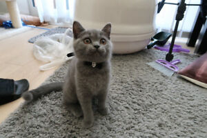 Purebred British shorthair blue male