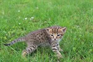 AFRICAN SERVAL HYBRYDS  F4  F5 and f6  ( savannah kittens)