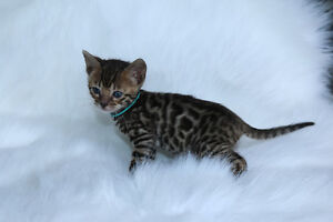 "Bengal cat, kitten for sale, "" bean "" female"