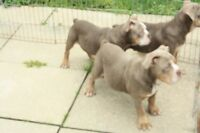 OLDE  ENGLISH  BULLDOG  .. PURPLE  LILAC  MALES