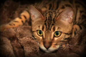 bengal brown (black) tabby