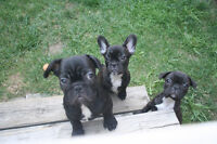 Top Quality French Bulldog Puppies - CALL OR TEXT ONLY!!