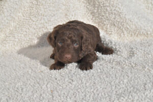 cockapoo puppies, brown, black, apricot, and cream