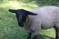 Spring Ewe Lambs for Sale