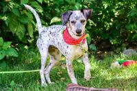 SPRECKLES - Dalmation Mix Rescue Dog