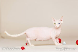 Rare Bambino (Sphynx) kittens reserve your baby today!!!!   Thi