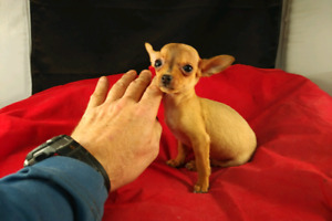 CHIHUAHUA PUPPIES,  TEACUPS READY NOW!!! NICE PRICE