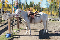 Cremello Welsh Pony - Gelding