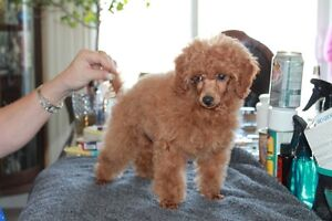 caniche, poodles  toy,tiny toy, teacup ligné champion bloodline