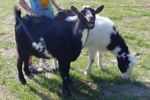 Four Goats looking for new home