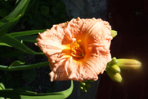 DAYLILIES, grown from high priced parentstock, dug and ready