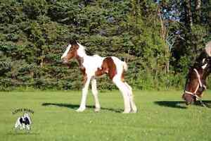 Gypsy Filly  3 colors