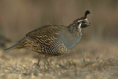 12 QUALITY CALIFORNIA  QUAIL HATCHING EGGS (believed fertile)