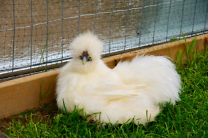 Silkie Bearded Rooster