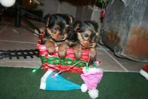 Adorable Yorkie Pups ready for Christmas