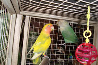 lovebirds - opaline  - single and paired