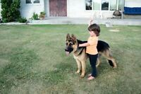 CKC REG German shepherd pups