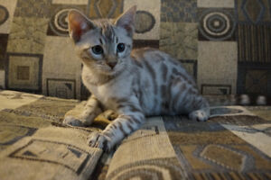 High Quality Bengal TICA Registered Kittens