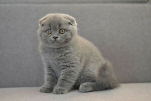 Scottish fold blue female kitten