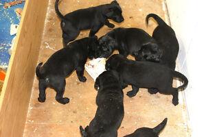 black lab bullmastiff X puppies