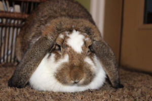 French Lop Bunnies 7 months old
