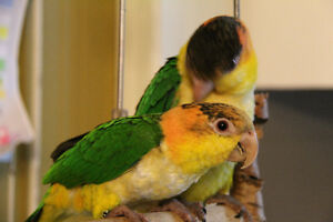 Rare Baby Caique Parrot 5 month old **Reduce PRICES