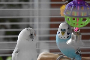 4 budgies, 2 cages
