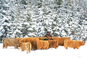 Scottish Highland Cows,  - LifeSpring Organic Farm Kawartha Lakes Peterborough Area image 2