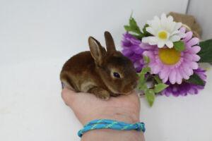 Bébés Lapins Mini-Rex (hypoallergène)-Les Petits Lapins d'Amour