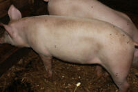 meat pig to sell or trade