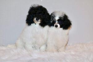 Two black & white parti toy poodle puppies