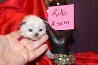 Amazing RAGDOLL kittens   Superbe chatons Ragdoll