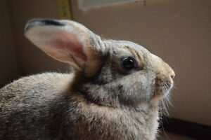 Male & Female American/Giant Flemish Cross Rabbit