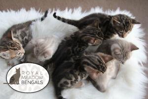 Purebred Bengal Kittens