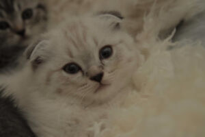 Ragdoll/Scottish Fold kittens