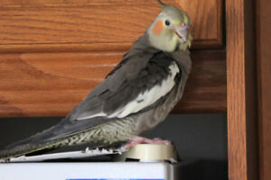 Lost bird - Cockatiel