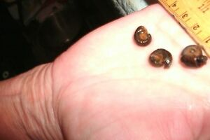 Snails - Ramshorn, Brown Leopard Spot
