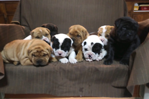Shar-Pei  Bulldog Puppies