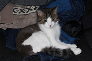 GIVE AWAY 4 yr old neutered grey tabby