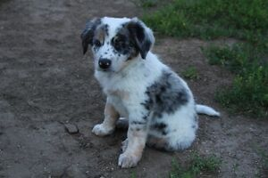 Ranch/ cattle dogs for sale