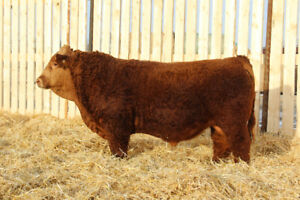 Skor Simmentals-Red and Black Simmental Yearling Bulls for sale.