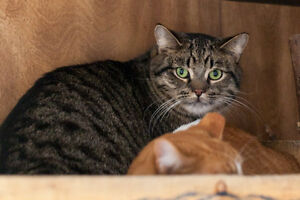 Cats and Kittens for Adoption! Sarnia Sarnia Area image 10