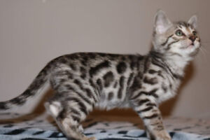 Exotic silver bengal kittens ready to go this Christmas!