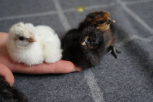 Easter eggers and silkie chicks