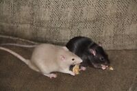 Fancy RATS. 11 Avail for adoption. GREAT pets.
