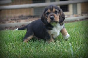 Adorable Beagle Puppies (updated)