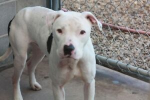 ADOPT TILLY THE 35LB BLUE STAFFY CROSS OR CO. OF 4O VISIT CARES