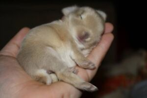free 4 mnth old pale grey bunny